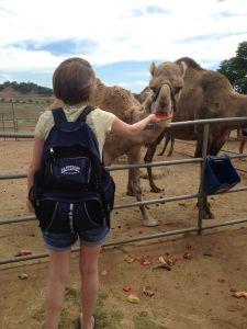 camelfeeding